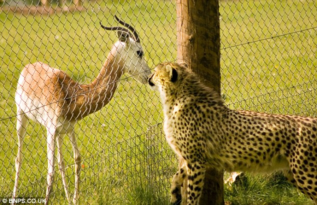 Are absolutely asian cheetahs food can not