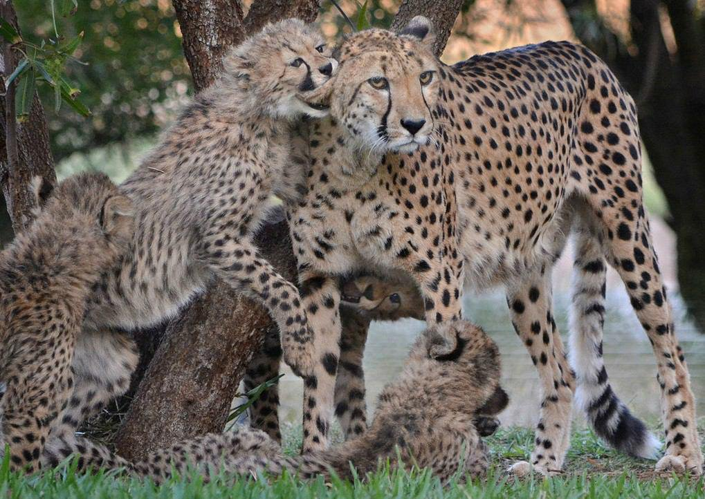 Basic Facts About Cheetahs #CheetahFacts